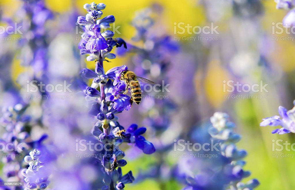 Lavender with bee stock photo