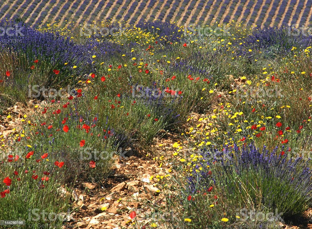 Lavender with poppies royalty-free stock photo