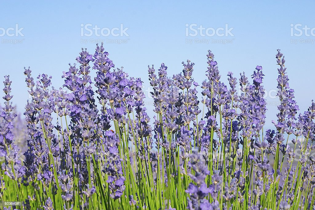 Lavender with sky royalty-free stock photo
