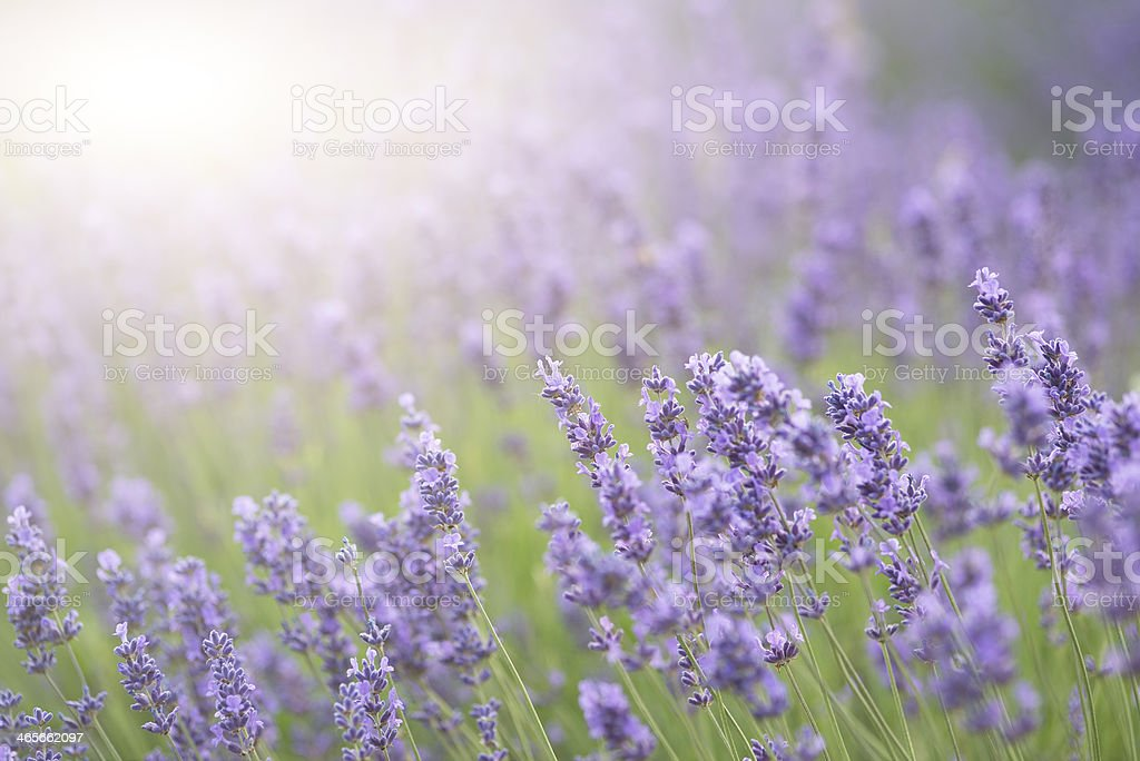 Lavender with sun flare and shallow depth of field royalty-free stock photo