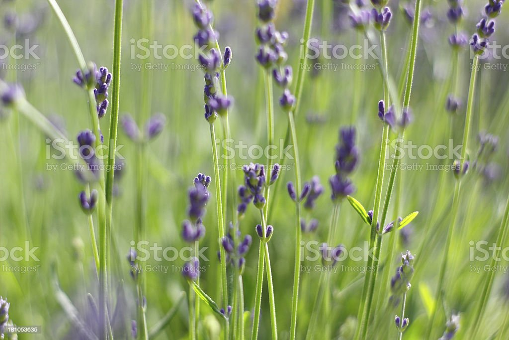 Lavender XXL stock photo