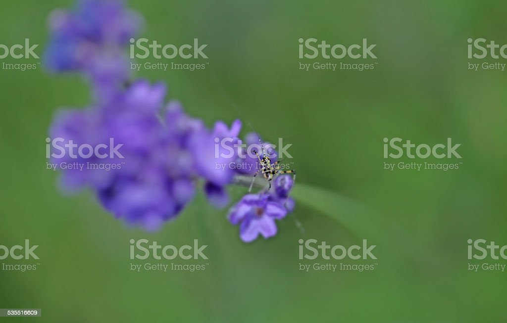 Lavenders close-up with blur background with a little grasshopper stock photo