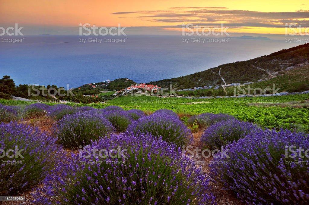 Lavenders of Hvar stock photo