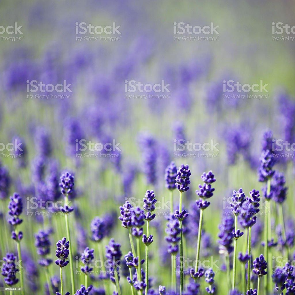 Lavenders stock photo