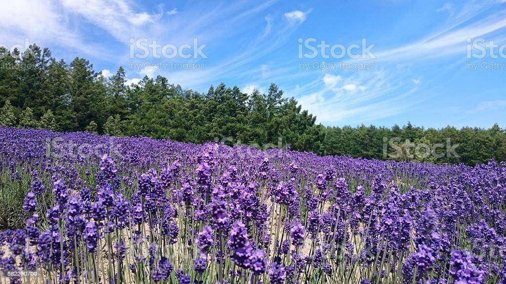 Lavenders foto de stock royalty-free