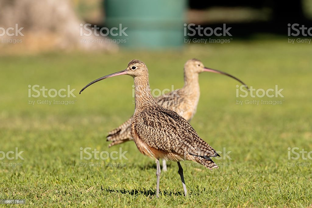 Lawn Curlew Symmetry stock photo