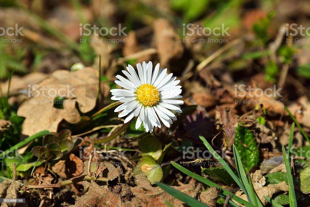 Lawn daisy, Bellis perennis stock photo