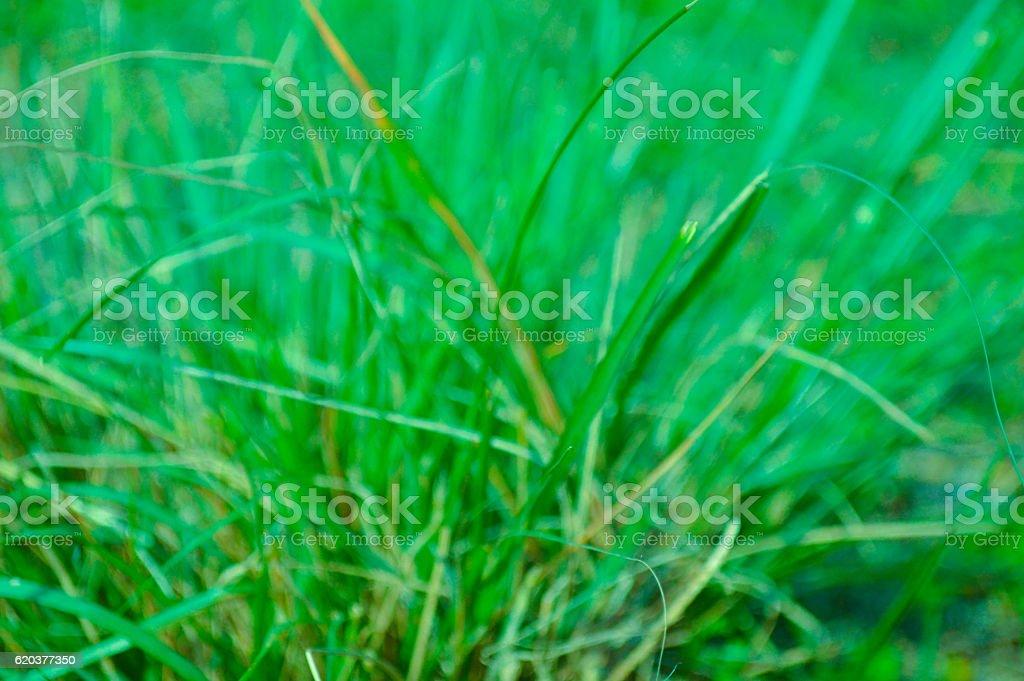 Lawn Grass stock photo