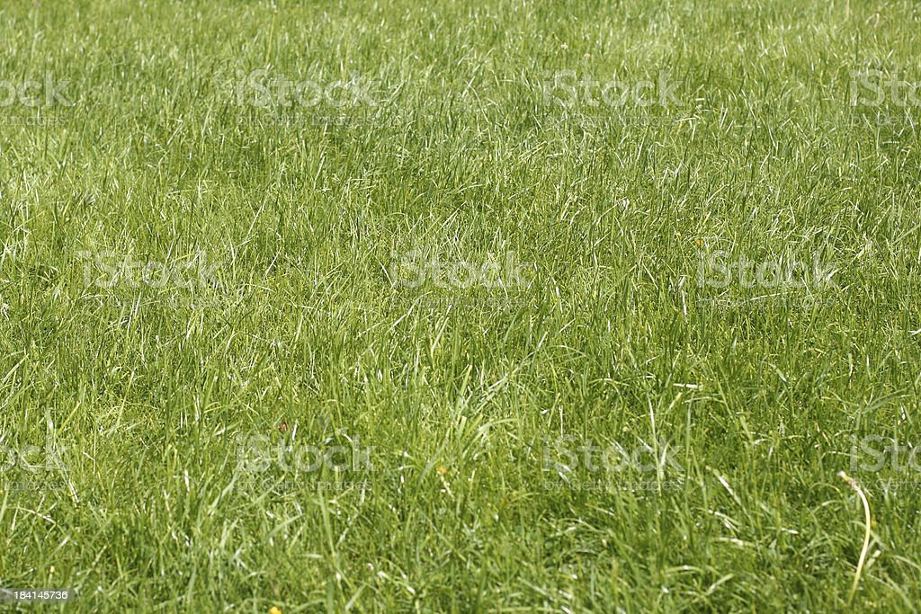 lawn grass, sunny royalty-free stock photo