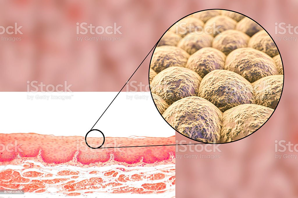 Layer of cells, light micrograph and illustration vector art illustration