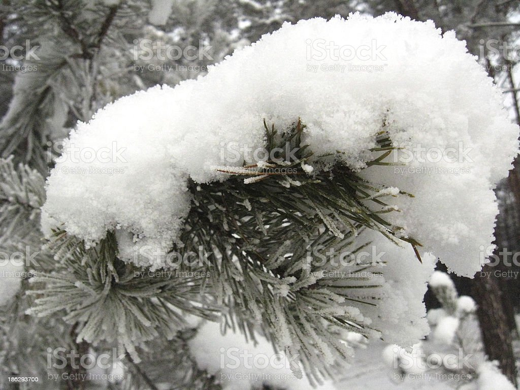 Layer of snow on the pine branch royalty-free stock photo