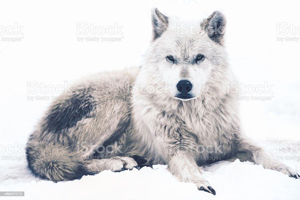 Laying Arctic Wolf stock photo