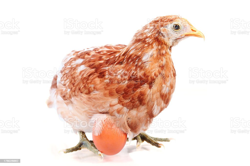 Laying egg stock photo