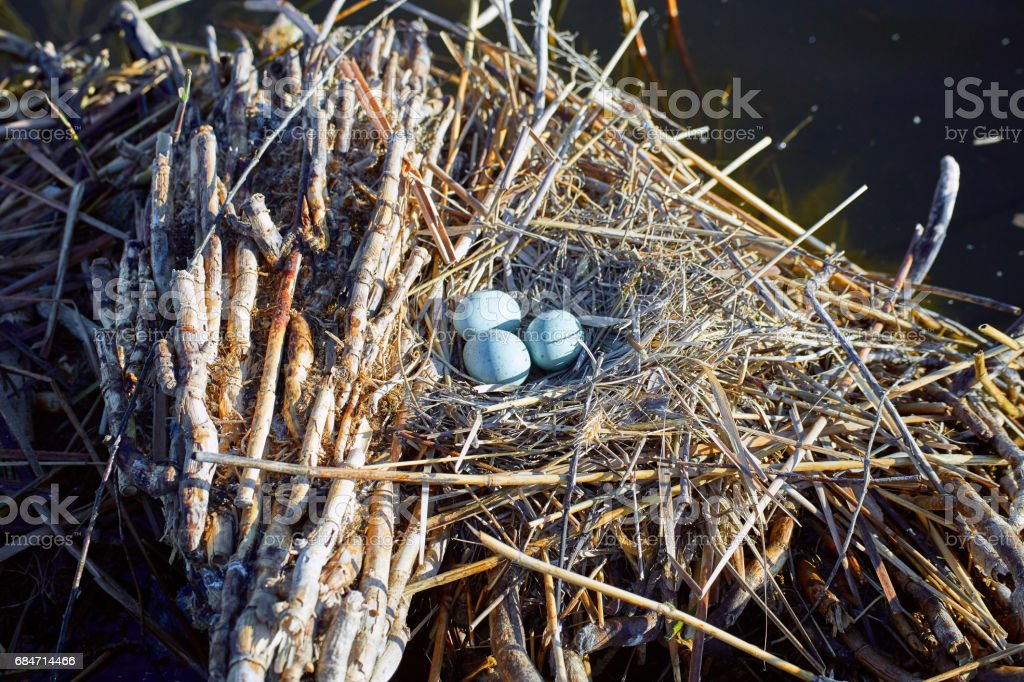 Laying eggs in a nest on the water in the wild. stock photo