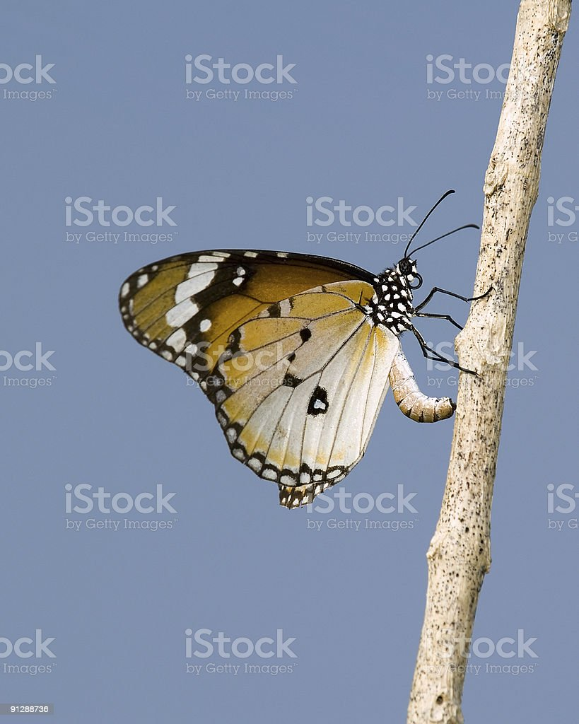 Laying Eggs stock photo