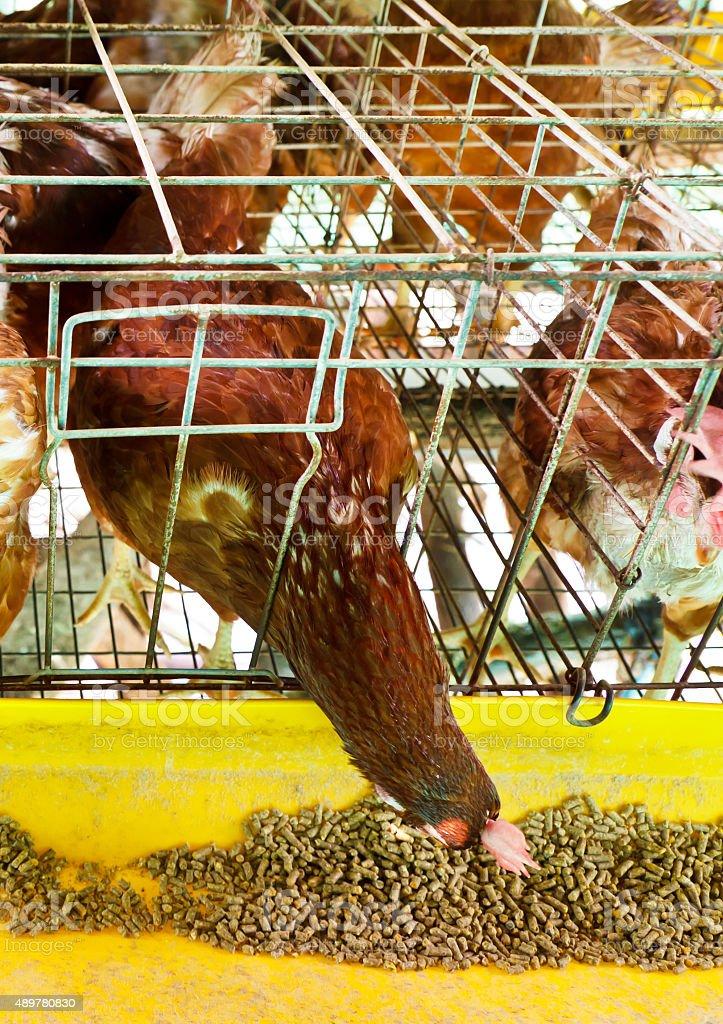 laying hen stock photo