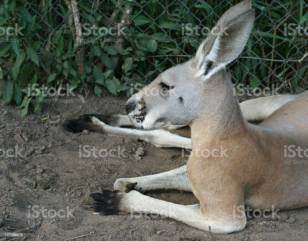 Laying Red Kangaroo stock photo