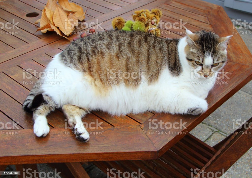 Laying tabby cat on a wooden table stock photo