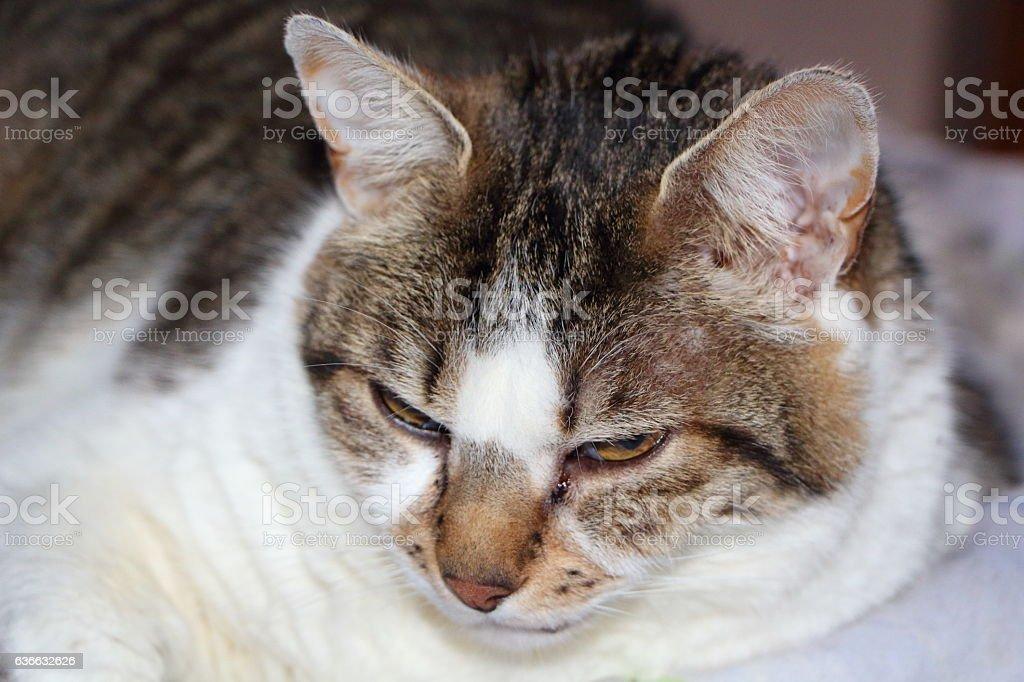 laying tabby cat stock photo
