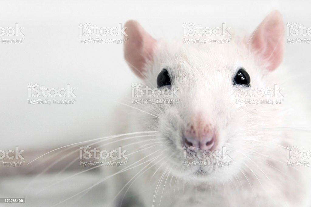Laying white Rat royalty-free stock photo