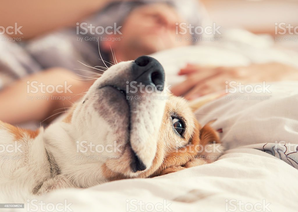 Lazy beagle lying in bed with his sleeping owner stock photo