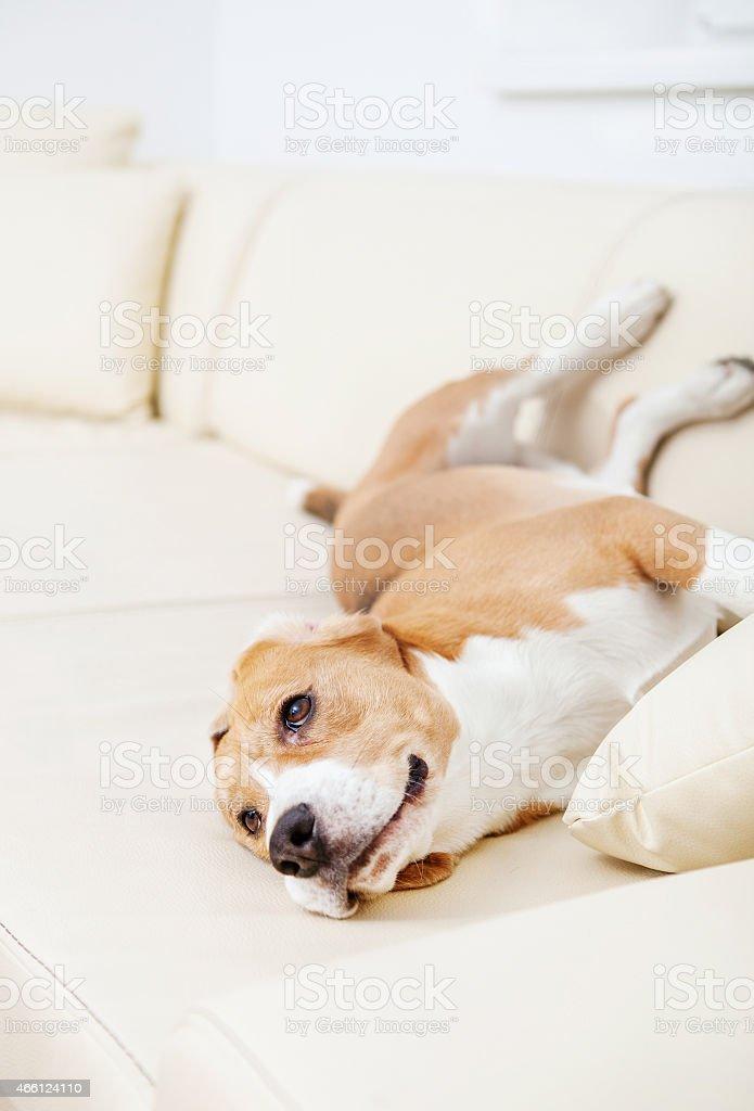 Lazy beagle on the white sofa stock photo