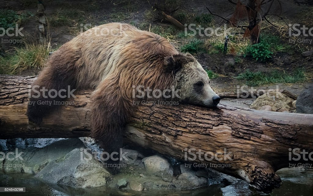 Lazy Bear stock photo
