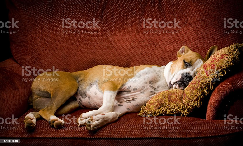 A lazy brown and white dog on a red chair asleep stock photo