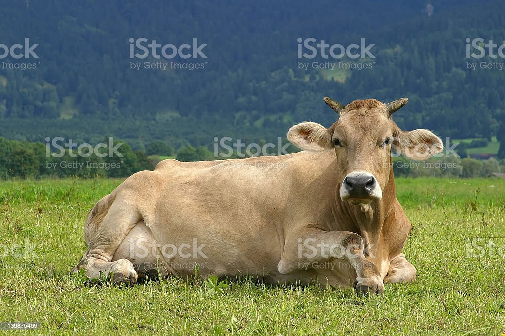 Lazy brown Cow royalty-free stock photo