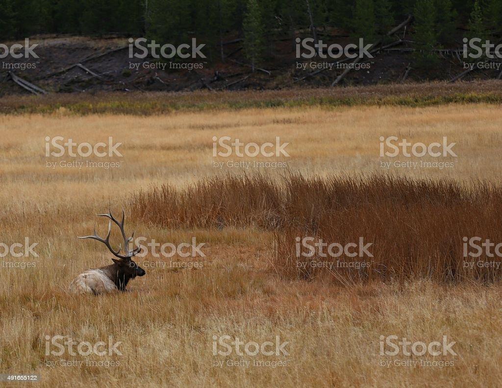 Lazy Bull Elk stock photo