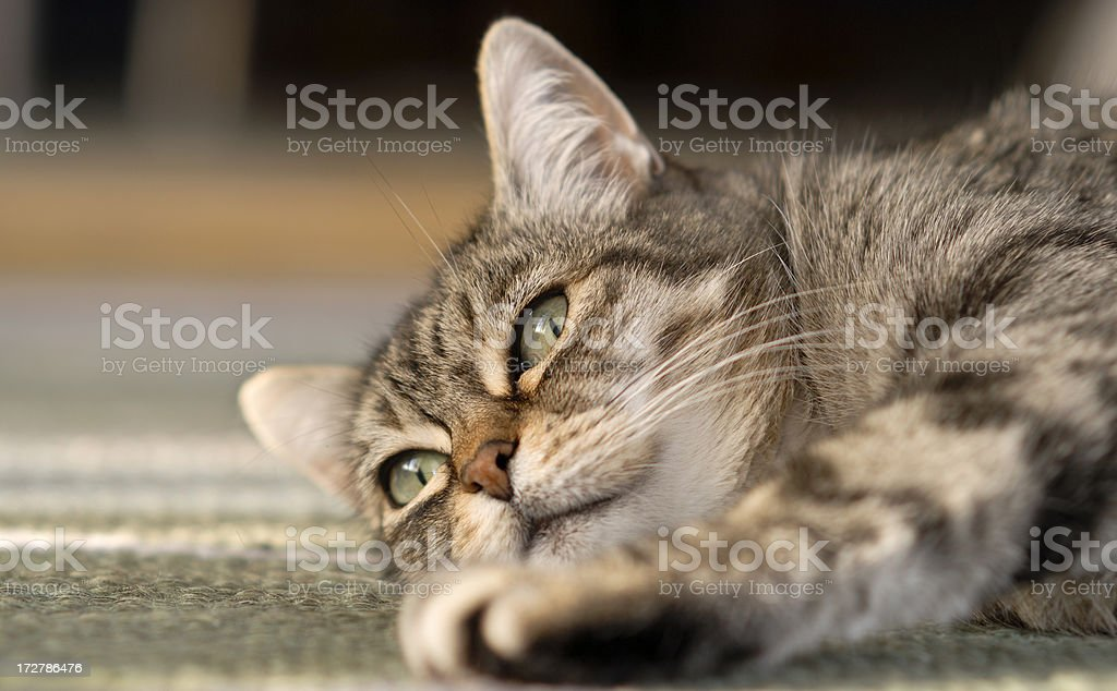 Lazy Cat stock photo