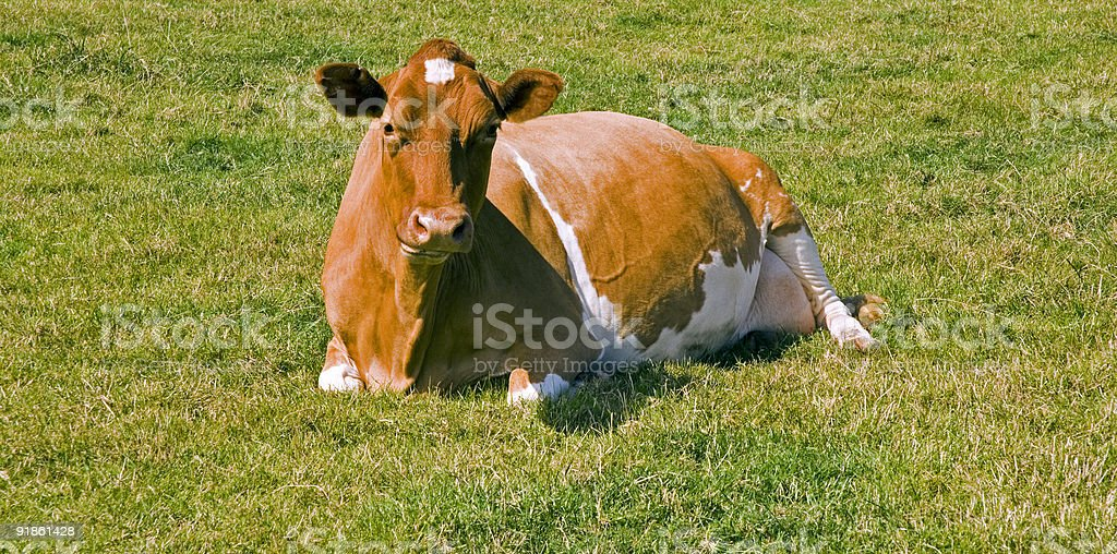 Lazy Cow stock photo