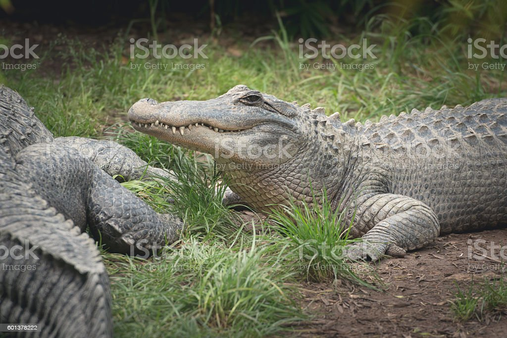 Lazy crocodile laying on grass after lunch stock photo