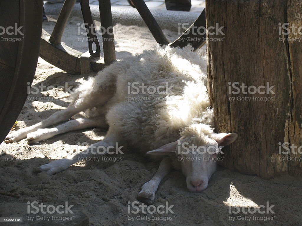 Lazy Day for the Sheep stock photo