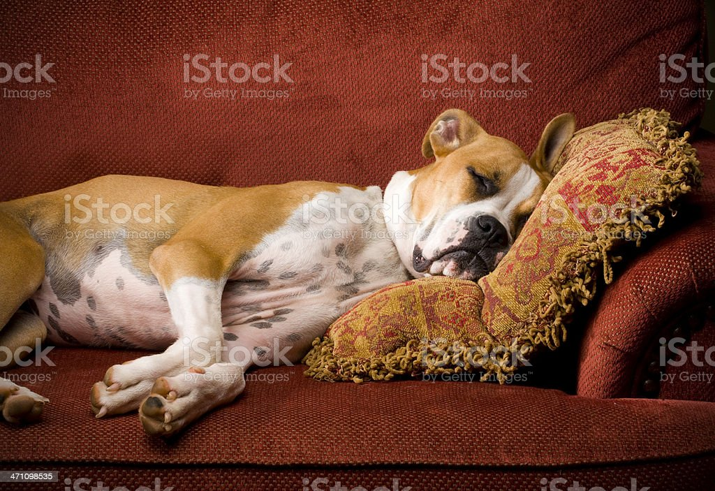 Lazy Dog Sleeping in chair stock photo