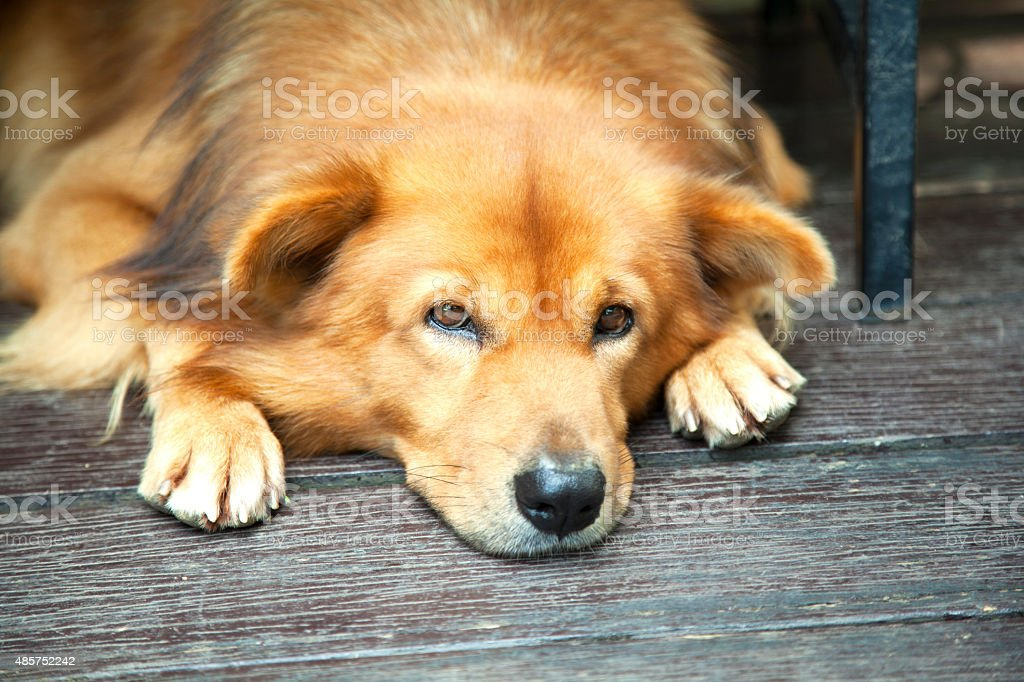 Lazy dog waiting at the front door stock photo