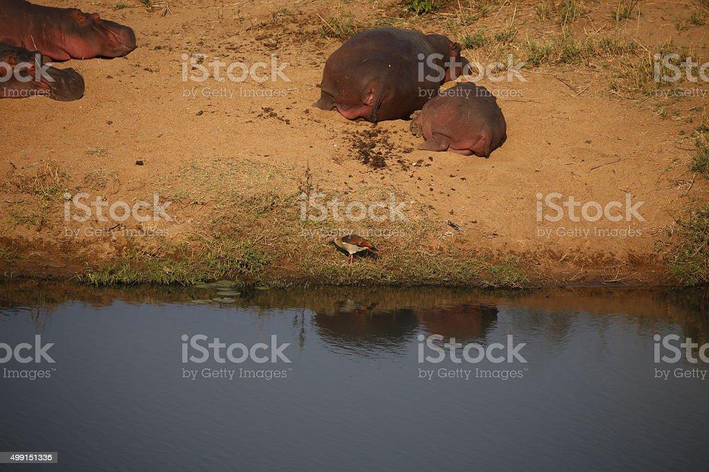 Lazy hippos and bird stock photo