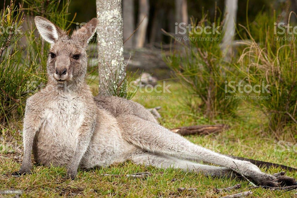 Lazy kangaroo in wild. stock photo