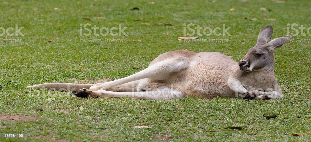 Lazy Kangaroo stock photo