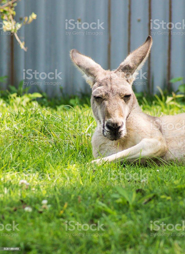 Lazy Kangaroo stock photo