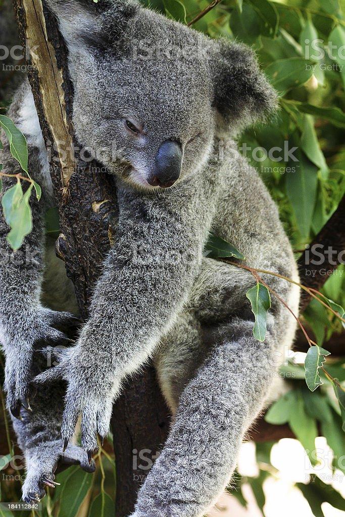 Lazy Koala royalty-free stock photo