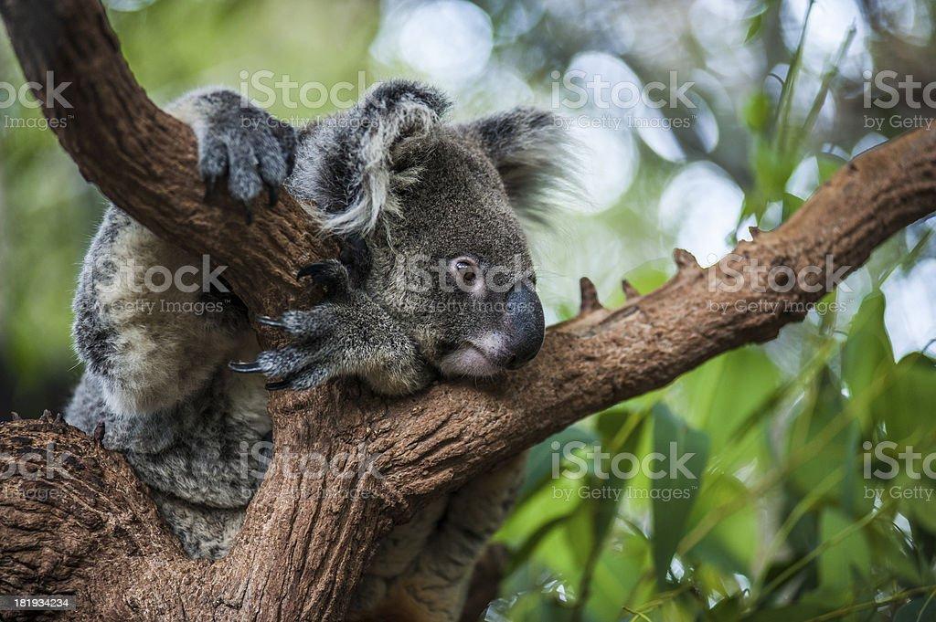 Lazy Koara on Tree stock photo