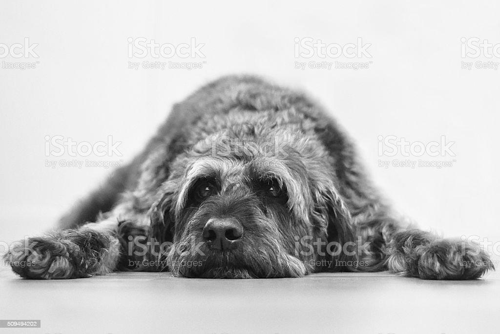 Lazy labradoodle dog stock photo
