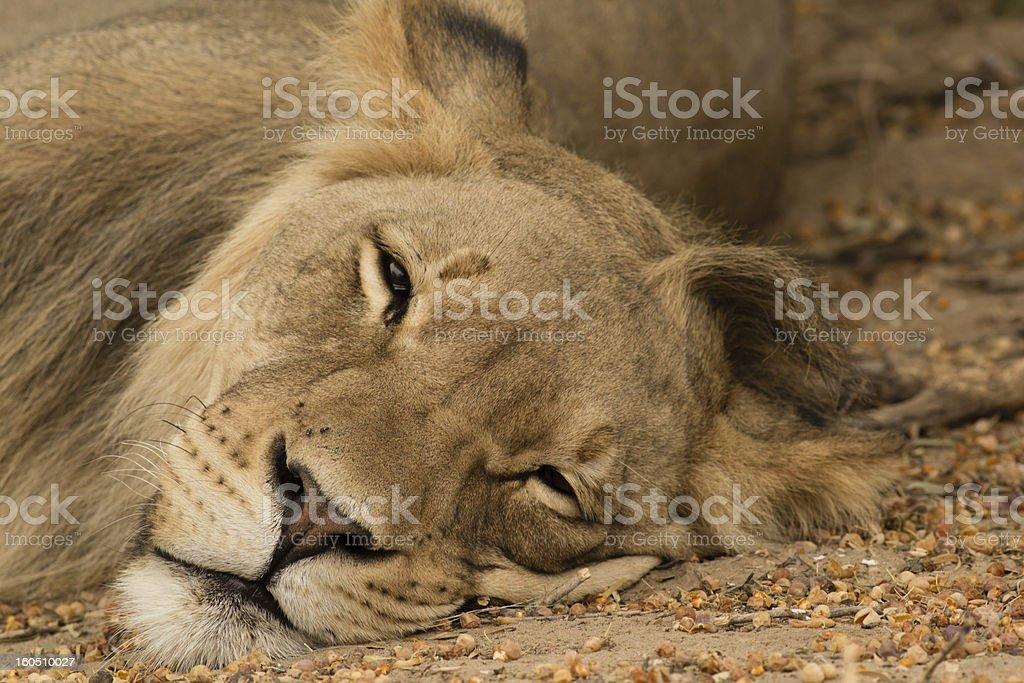 Lazy Lion royalty-free stock photo