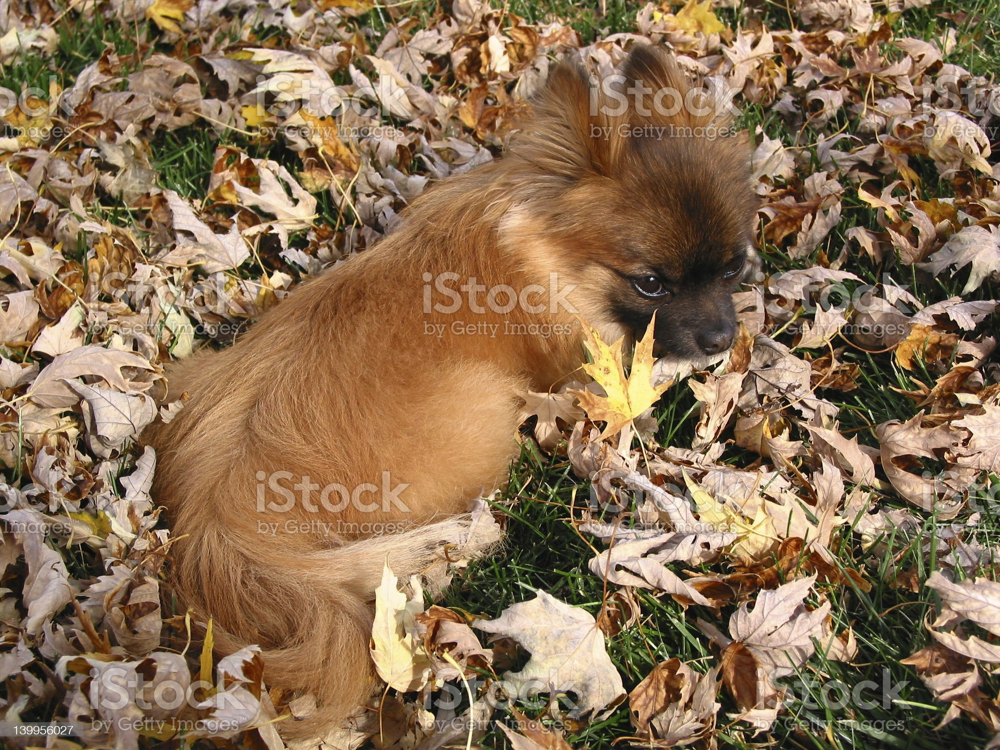 Lazy little puppy royalty-free stock photo