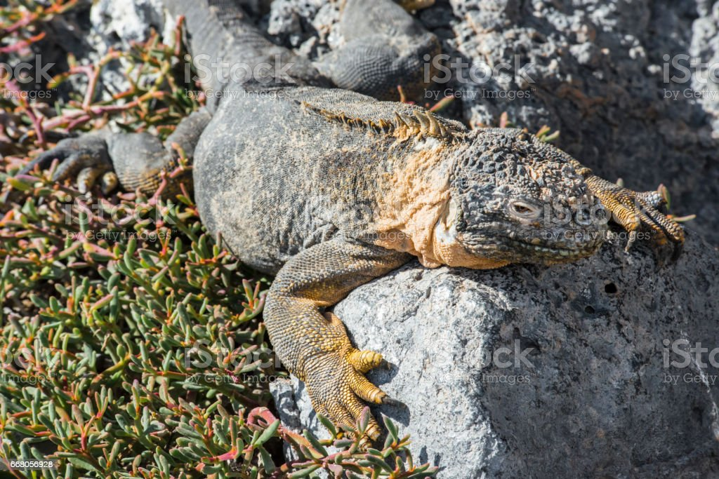 Lazy Lizard on Rock stock photo