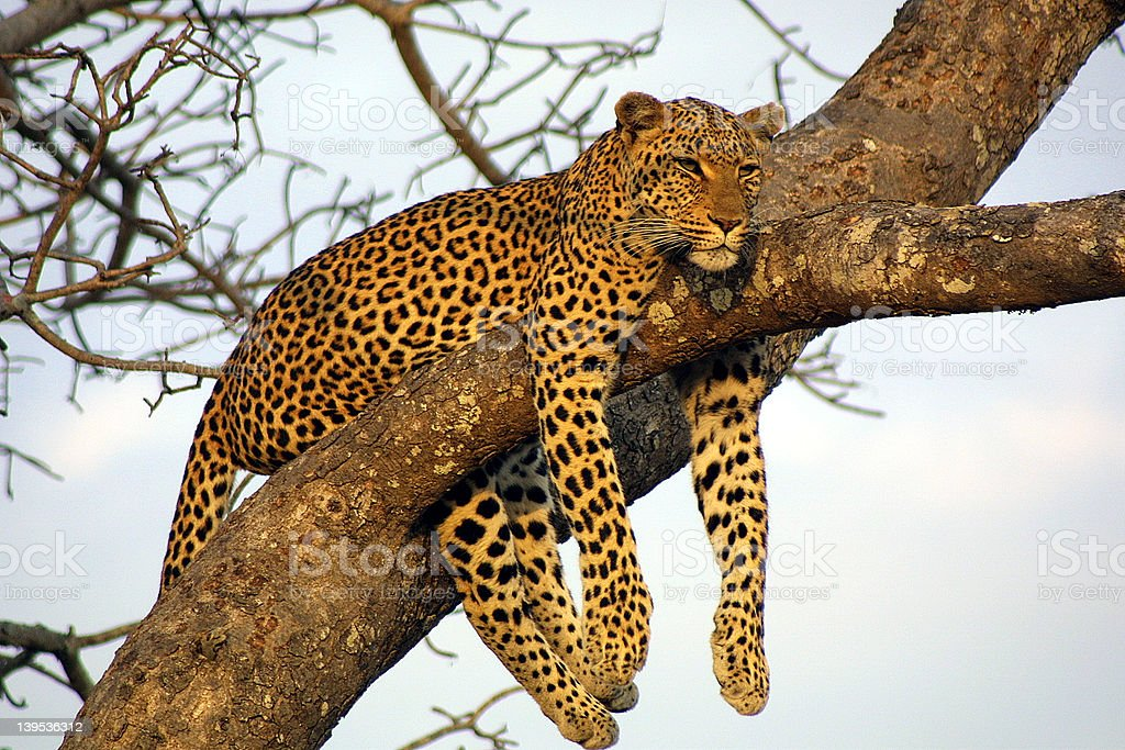 Lazy Lounging Leopard stock photo