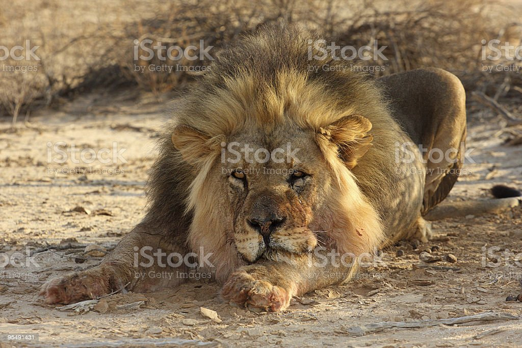 Lazy male lion with one eye half open royalty-free stock photo
