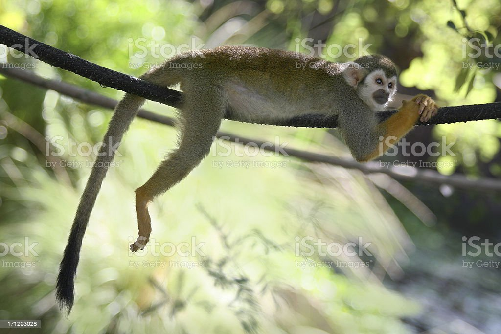 Lazy Monkey royalty-free stock photo