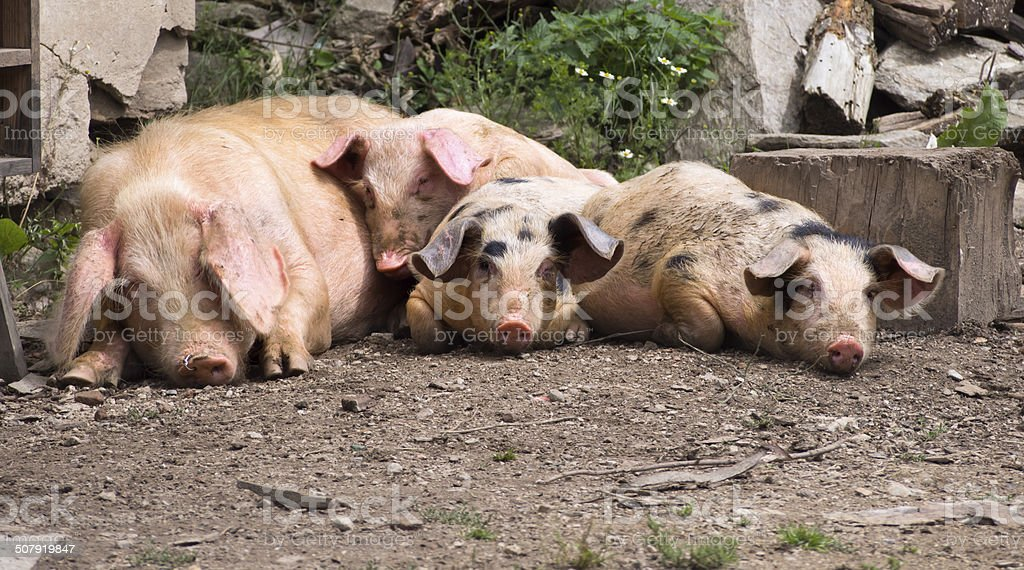 Lazy pigs stock photo